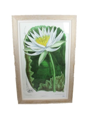 Waterlilly Botannical II Framed Print